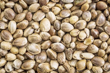 hemp hemp seed: background of organic dried hemp seeds, life size macro
