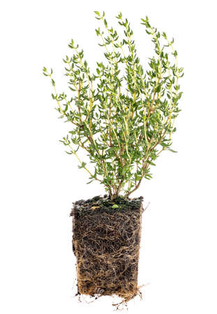 seedling: new French thyme plant with roots taken out of the pot for planting, isolated on white