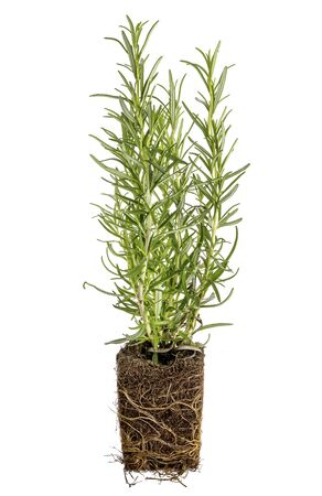new rosemary plant with roots taken out of the pot for planting, isolated on white Stock fotó