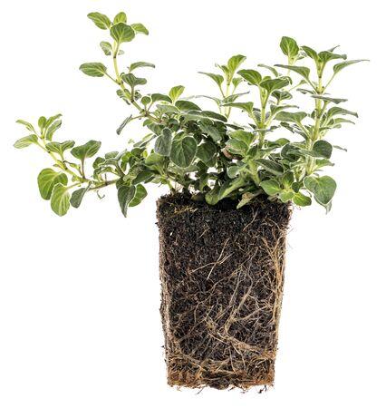 raices de plantas: nueva planta de orégano con raíces tomadas fuera de la olla para la siembra, aislado en blanco
