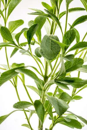 Stevia rebaudiana plant - alternative sweetener herb Stock Photo
