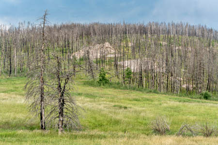 mountain forest recovering from a wildfire along Old Flowers Road in Roosevelt National Forest, a popular jeep trail near Fort Collins, Colorado