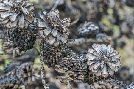 wildfire: abstract of pine tree cones burned by wildfire, Rocky Mountains in Colorado Stock Photo