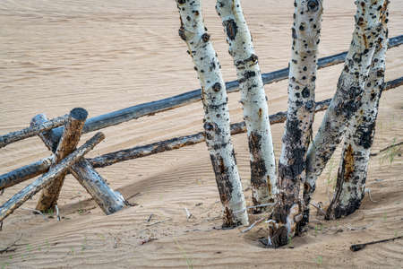 aspen grove: Aspen tree and  wooden fence at North Sand Hills in Colorado