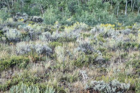 yellow flower tree: late summer tapestry of aspen trees , wildflowers, sagebrush and other shrubs in North Park of Colorado