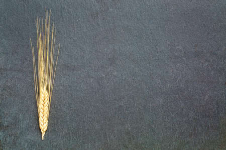 cereal plant: ears of wheat  on gray slate stone with a copy space Stock Photo