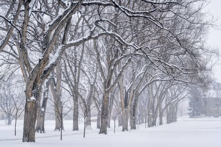 collins: Alley of old elm trees in snow blizzard - historical Oval at Colorado State University campus, Fort Collins