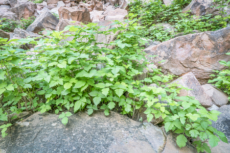 irritating: poison ivy (Toxicodendron radicans) growing in abundance at a bottom of in sandstone canyon in the Moab area, Utah Stock Photo