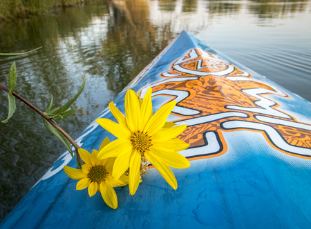 Fort Collins, CO, USA - August 28, 2017: Late summer paddling on a lake in Colorado - a bow of racing stand up paddleboard by Starboard with the tiki logo and yellow sunflower. Editorial