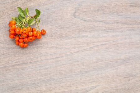 grained wood background with firethorn berries - fall theme