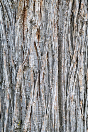 texture of an old juniper tree trunk with vertical bark patterns