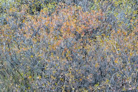 tapestry of shrubs nad bushes in fall colors in Colorados Rocky Mountains
