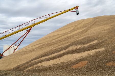kansas: a large pile of sorghum grain in western Kansas in early November