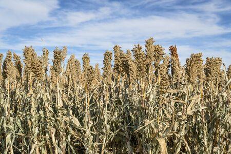 kansas: white sorghum field in western Kansas ready for harvest