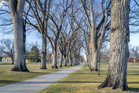 Allee with old American elm trees in early spring - the Oval of Colorado State University campus - landmark of Fort Collins