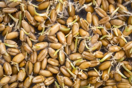 background of sprouting wheat grain (red hard winter wheat)