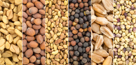 composite set of organic sprouting seeds  (same scale), from left - fenugreek, radish, alfalfa, broccoli, hard wheat, red clover