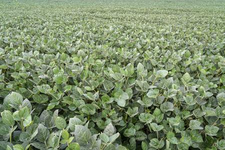 field of green soybean plants - a farming landscape in Nebraska