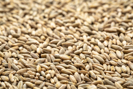 macro shot of organic rye berries background with a selective focus