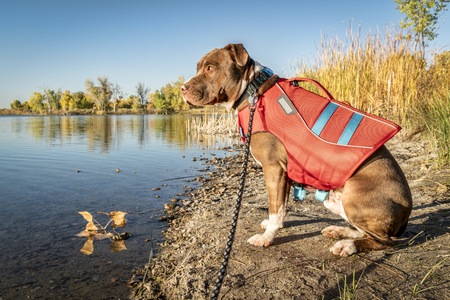Young pit bull terrier dog in life jacket on the lake shore, fall scenery