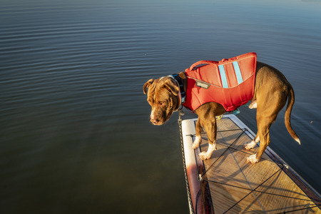 bull terrier dog in life jacket on a stand up paddleboard Фото со стока