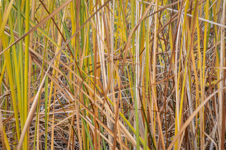 reeds background  - a slake shore in Colorado in early fall