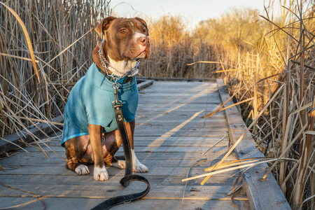 pit bull dog in a warm jacket and prong trainnig collar on a walk in late fall scenery Фото со стока