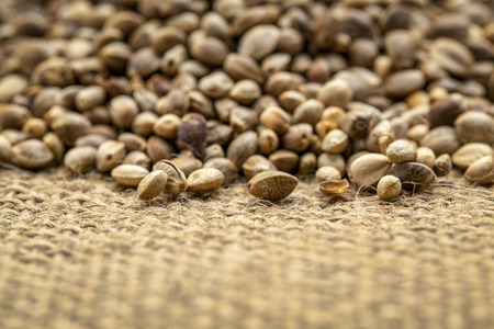 background of organic dried hemp seeds on burlap canvas  - low angle view with a shallow focus