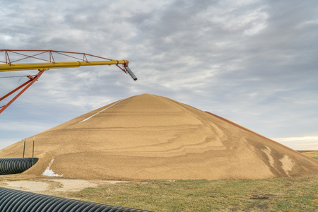 a large pile of sorghum grain drying in western Kansas in early November 版權商用圖片