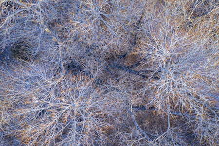 leafless cottonwood trees in winter, aerial top view