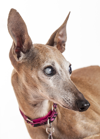 portrait of an old blind dog, Italian Greyhound - eyes with cataract
