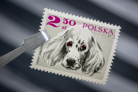 English setter dog on a vintage, canceled post stamp from Poland (late1960s) held by tweezer above  empty stockbook page