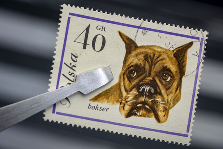 boxer dog on a vintage, canceled post stamp from Poland (early 1960s) held by tweezer above  empty stockbook page