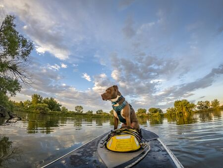 Pitbull terrier dog is sitting on a stand up paddleboard ready for a trip, summer scenery on lake in Colorado