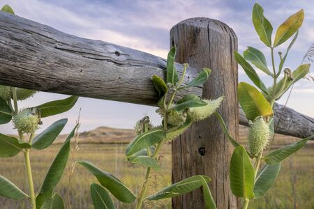 immature fruits (follicles aka pods) of the common milkweed and wooden fence along Poudre Trail in northern Colorado