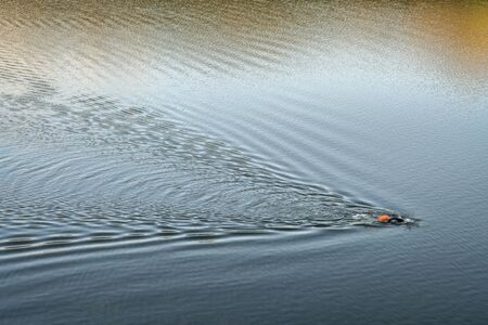 open water swimmer with a swim buoy on a calm lake, summer morning workout