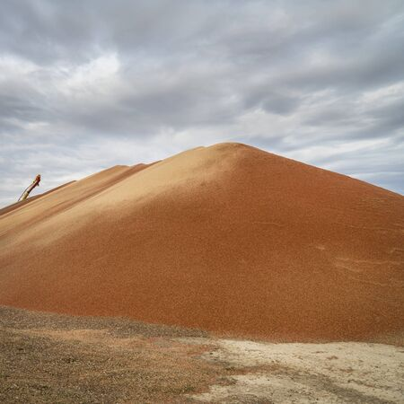 a large pile of sorghum grain drying  in western Kansas in early November, farming and agriculture concept Foto de archivo