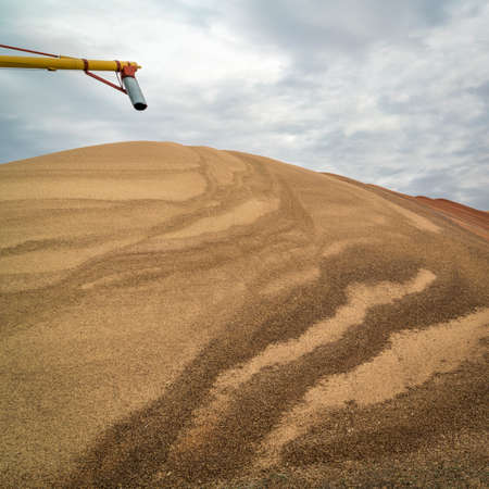 a large pile of sorghum grain drying  in western Kansas in early November, agriculture industry concept