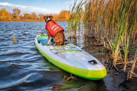 Pit bull terrier dog in a life jacket is sitting on an inflatable stand up paddleboard, fall  scenery in northern Colorado, travel and vacation with your pet  concept