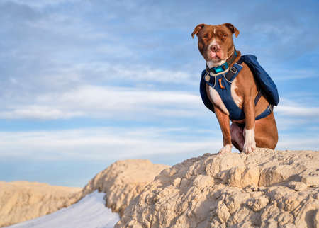 red nose pitbull dog is wearing a backpack during hiking in Pawnee National Grassland, early spring scenery in northern Colorado.