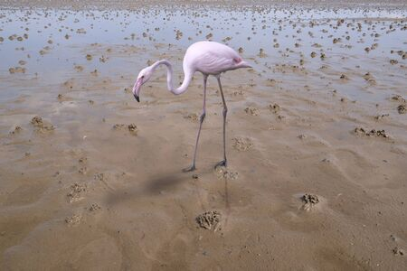 A flamingo is reflected in the water of a tideway