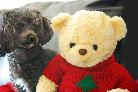 Miniature poodle hanging out with a friend for the holidays.