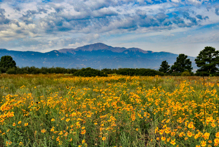 Field of flowers with Pikes Peak Stock Photo