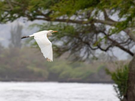 Flying Wild White Egret Reklamní fotografie