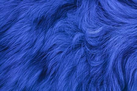 australian shepherd fell blue Stock Photo - 11091568