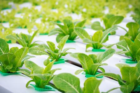 hydroponic: hydroponic vegetable farm