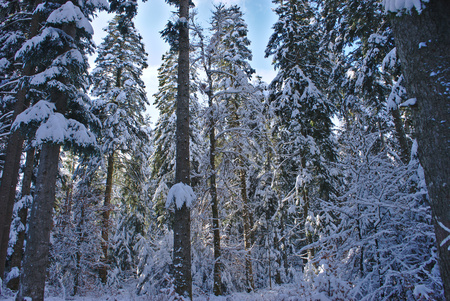 trees under the snow, Auvergne, France. Ghoul Pass Stock Photo
