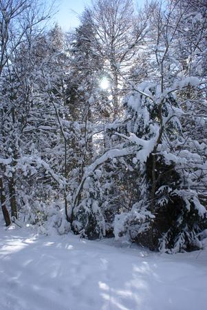 trees under the snow, Auvergne, France. Ghoul Pass Standard-Bild