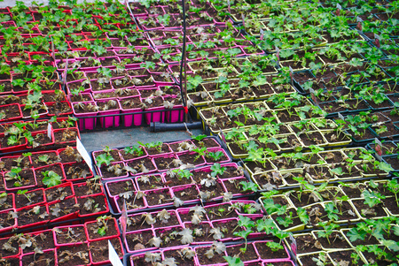 sprouting pots, greenhouse flower growing Stok Fotoğraf