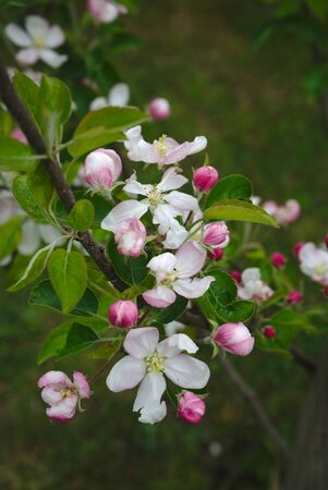 apple blossoms in spring, Auvergne, Puy-de-Dome